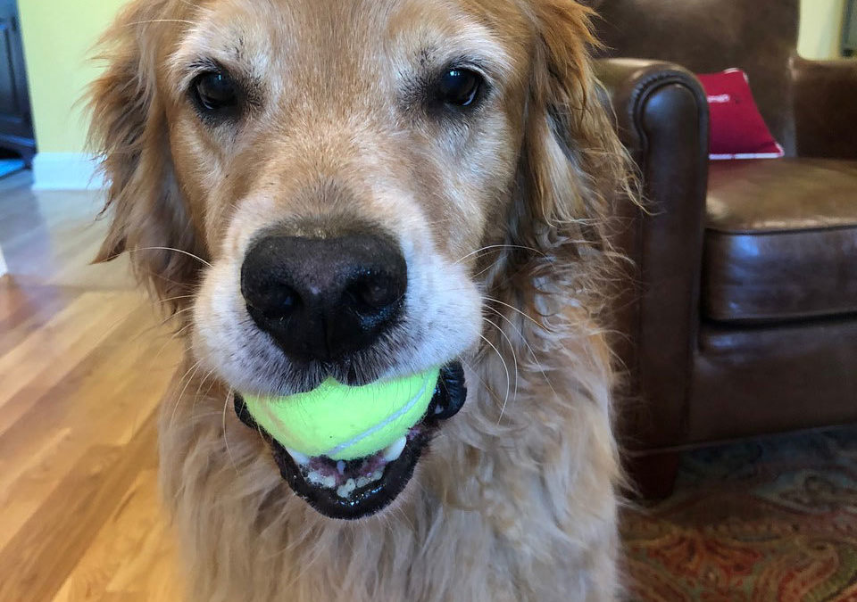 a golden lab holds a tennis ball in his mouth and looks into the camera